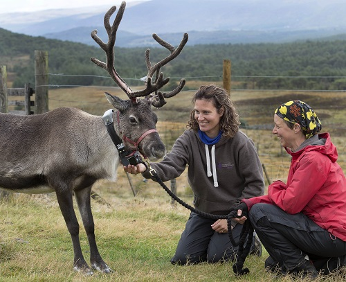 Cairngorm Reindeer Research Programme enters its next phase