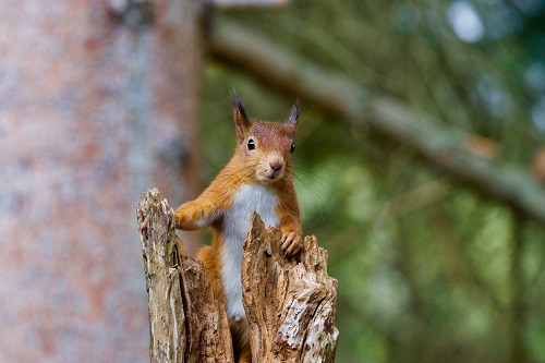 Study by Inverness College UHI aims to address knowledge gaps around the impact of forest operations on red squirrels